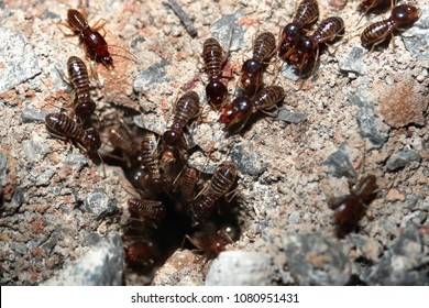 Hordes of termites or white ants entering into soil for be transporting food back to the nest before sunrise.  Selective focus