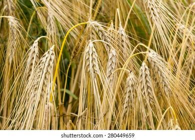 Hordeum vulgare, Common Barley plant in summer, Germany