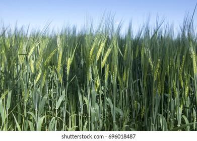 Hordeum vulgare field, barley cereal grain