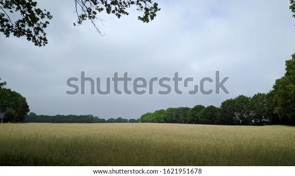 hordeum vulgare - golden barley field