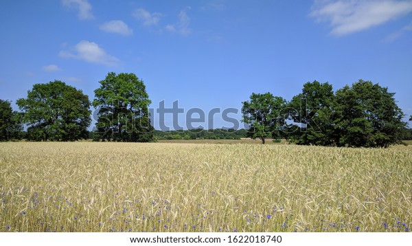 hordeum vulgare - golden barley field scattered with blooming cornflowers in Dutch stream valley Reestdal