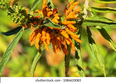 Horehound Bugs, orange sting bugs feeding on wild hemp flowers, lion's tail in Western Australia
