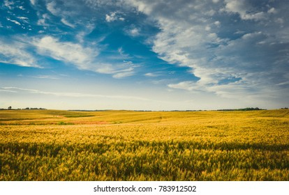 Horizon divides the golden field and the blue sky. Latvian landscape.