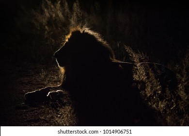 A horizontal, back lit, colour image of a male lion, Panthera leo, silhouetted in the darkness in the Greater Kruger Transfrontier Park, South Africa.