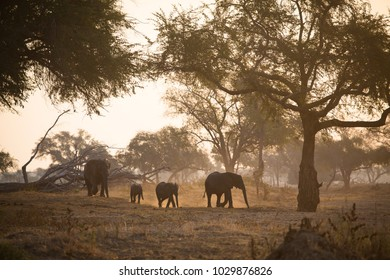 A horizontal, back lit, colour image of a herd of elephants, Loxodonta africana, kicking up dust in late afternoon light in Gonarezhou National Park, Zimbabwe.