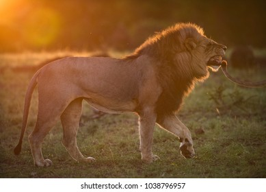 A horizontal, back lit, colour image of a lion, Panthera leo, with his lips pulled back in a flehmen reaction in golden orange light in mashatu Game Reserve, Botswana.