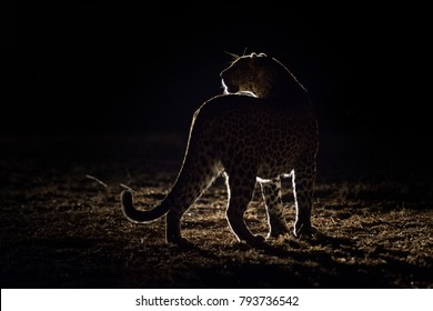 A horizontal, back lit, colour image of a leopard, Panthera pardus, standing silhouetted in the spot light from a safari vehicle in the Greater Kruger Transfrontier park, South Africa.