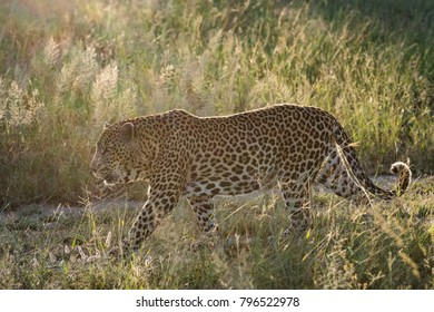 A horizontal, back lit colour photo of a large male leopard, Panthera pardus, striding through long grass in the Greater Kruger Transfrontier Park, South Africa.