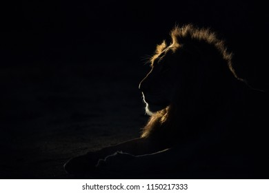 A horizontal, back lit, colour photograph of a male lion, Panthera leo, resting on a dark night in the spot light in the Sabi Sand game reserve, South Africa.