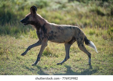 A horizontal, back lit, colour photograph of a wild dog, Lycaon pictus, running over short green grass against a blurred background in the Okavango Delta, Botswana.