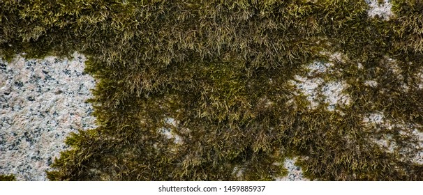 Horizontal background of moss on a stone surface, soft focus