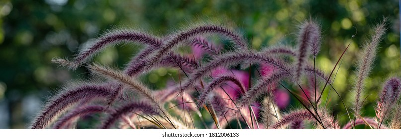 Horizontal banner of Pennisetum, purple ornamental grasses, constantly moving in the wind, each plume highlighted by the light of the golden hour
