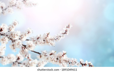 Horizontal banner with sakura flowers of white color on sunny backdrop. Beautiful nature spring background with a branch of blooming sakura. Copy space for text