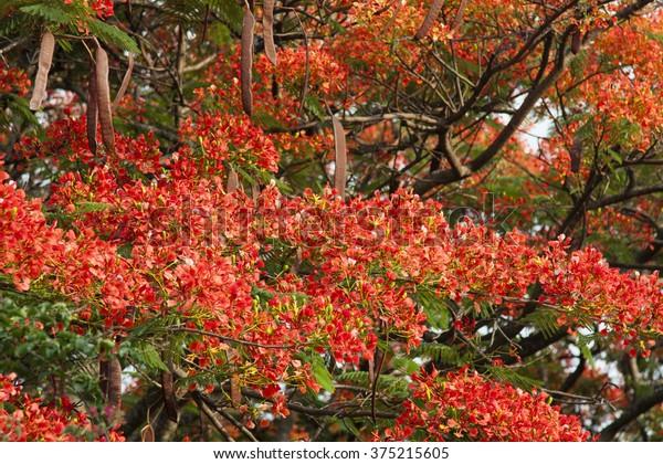 Horizontal Beautiful Orange Jacaranda Tree Blooming Stock Photo