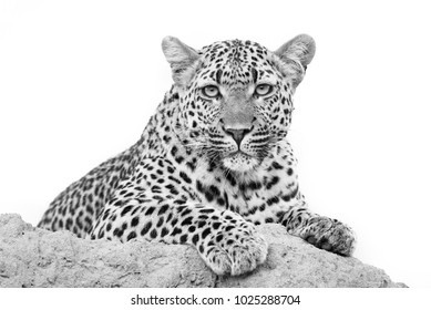 A horizontal, black and white photo of a leopardess, Panthera pardus, resting on a termite mound and staring at the camera in the Timbavati Game Reserve, South Africa.