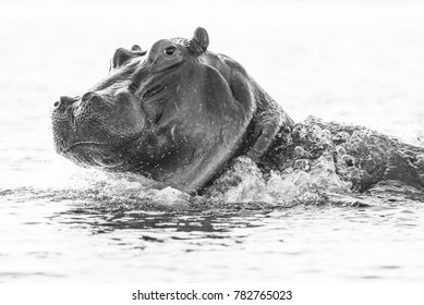 A horizontal, black and white, surface level photo of a hippo, Hippopotamus amphibius, looking at the camera and splashing through water in Chobe National Park, Botswana.