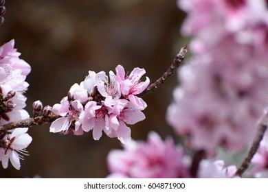 horizontal blooming peach tree branch with gorgeous pink and white flowers