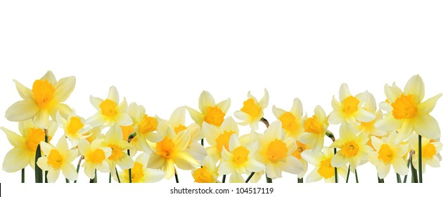 Horizontal border on a white background with yellow daffodils