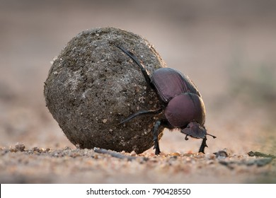 A horizontal, close up colour image of a dung beetle rolling its meticulously rolled back through sand in the Greater Kruger Transfrontier Park, South Africa.