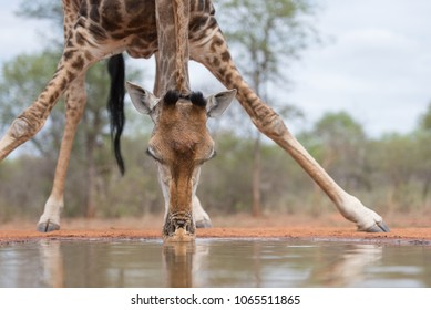 A horizontal, close up colour image of a giraffe, Giraffa camelopardalis, drinking at a photographic hide in Karongwe Game reserve, South Africa.