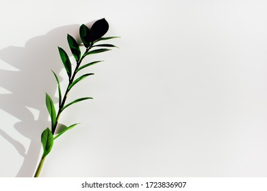 Horizontal close up of green branch of tree or plant with leaves on white surface background with shadows on sunlight on sunset or sunrise. Organic freshness of nature concept, copy space