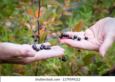 horizontal close up image of caucasian hands holding saskatoon berries with green leaves blurred in background.