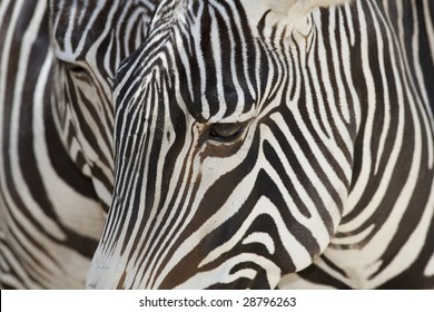 Horizontal close up image of a Grevy's zebra face.