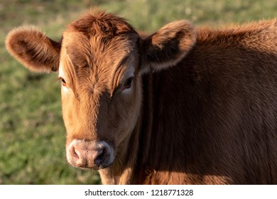 Horizontal close up of a  redish brown cow looking at the camera, with  soft focus green foliage background. Autumn colors, shot in the afternoon.