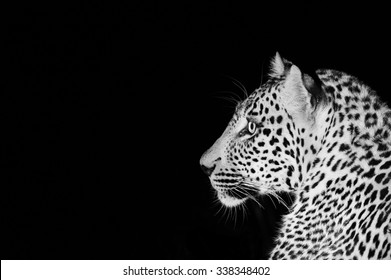 A horizontal, close up, black and white image of the facial profile of a wide-eyed leopard, ears forward and face alert against a black background at Sabi Sands Game Reserve, South Africa.