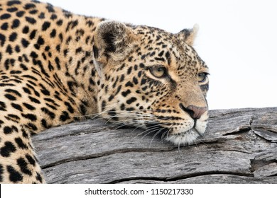 A horizontal, close up, color image of a lazy leopard, Panthera pardus, lying on a dead tree branch with her eyes open in the Sabi Sand Game Reserve, South Africa.
