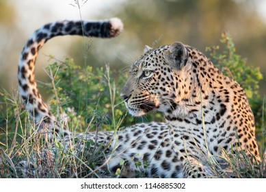 A horizontal, close up, colour image of a leopard, Panthera pardus, lying in green grass in side light, flicking its tail, at Djuma Private Game Reserve, South Africa.