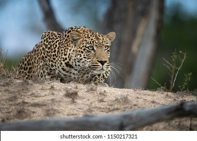 A horizontal, close up, colour image of a leopard, Panthera pardus, stalking its prey through the Sabi Sand Game Reserve, South Africa.