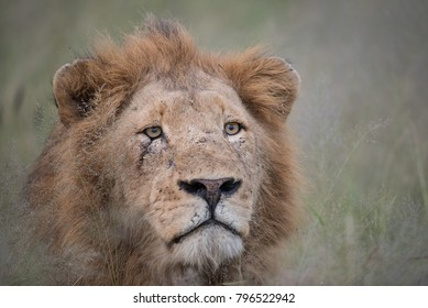 A horizontal, close up, colour image of a scarred lion, Panthera leo, staring with avid interest past the camera in the Greater Kruger Transfrontier Park, South Africa.