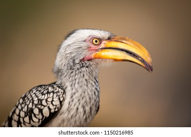 A horizontal, close up, colour photo of a yellow-billed hornbill, Tockus leucomelas, at Djuma Private Game Reserve, South Africa.