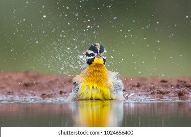 A horizontal, close up, surface level color image of a golden-breasted bunting, Emberiza flaviventris, spraying water while bathing at the edge of a pool in Karongwe Game Reserve, South Africa.