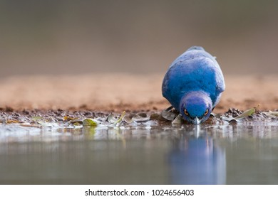 A horizontal, close up, surface level, colour image of a Cape glossy starling, Lamprotornis nitens, drinking at the edge of a shallow pool in side light in Karongwe Game Reserve, South Africa.
