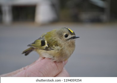 Horizontal close-up color portrait image in full length of Regulus regulus (goldcrest, Wintergoldhanchen) in a hands of Unidentifiable person