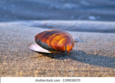 Horizontal close-up image in bright colors of abandoned Mya arenaria (sand gaper, softshell clam, steamer, softshell, longneck, piss clam, Ipswich clams or Essex clam, Sandklaffmuschel) shell