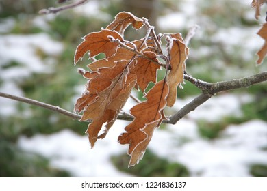 Horizontal close-up image with shallow depth of field of a frozen Quercus rubra (Quercus borealis, northern red oak or champion oak, Roteiche) leaves covered with ice crystals on a tree branch