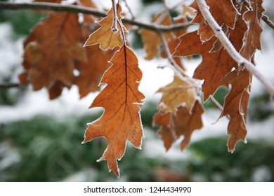 Horizontal close-up image with shallow depth of field of a frozen Quercus rubra (Quercus borealis, northern red oak or champion oak, Roteiche) leaf covered with ice crystals on a tree branch