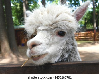 Horizontal closeup photo of the face of a white fluffy llama holding a straw in its teeth.
