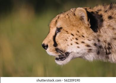 A horizontal close-up side profile photograph of one adult Cheetah's (acinonyx jubatus) in golden light at sunrise in the Masai Mara