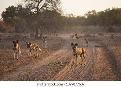 A horizontal, color image of a large pack of African wild dogs, Pycaon pictus, preparing to hunt in late eveining golden light in Gonarezhou National Park, Zimbabwe.