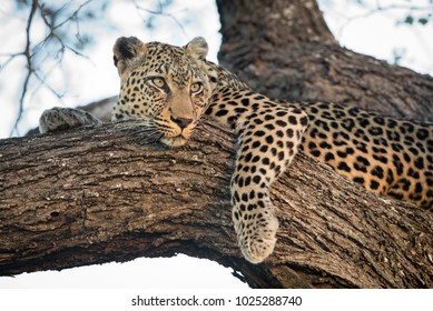A horizontal, color image of a leopard, Panthera pardus, resting in a tree with its amber eyes open in the Timbavati Game Reserve, South Africa.
