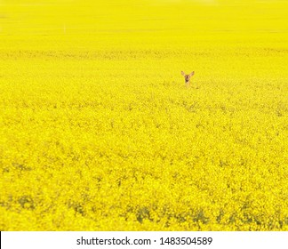 horizontal color image of a single deer looking out from a vast field of bright yellow canola blossoms
