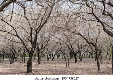 A horizontal, color photo of a grove of Acacia trees. Acacias are heavily defended against herbivores. Different species have different combinations of defenses: thorns, chemical and ants.