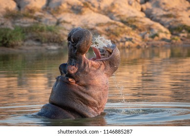 A horizontal, color photograph of a large hippo, Hippopotamus amphibius, swimming and splashing water into its open mouth at Djuma Private Game Reserve, South Africa.