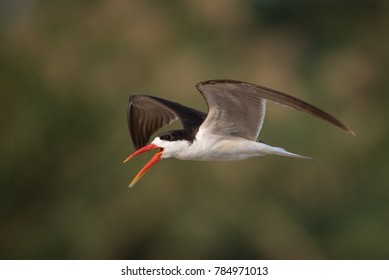 A horizontal, colour image of an African skimmer, Rynchops flavirostris, in flight with mouth open against a blurred green and beige background in Chobe National Park, Botswana.