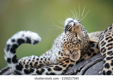 A horizontal, colour image of a cute leopard cub, Panthera pardus, playing with its mother's tail against a green background at Djuma private game reserve, South Africa.
