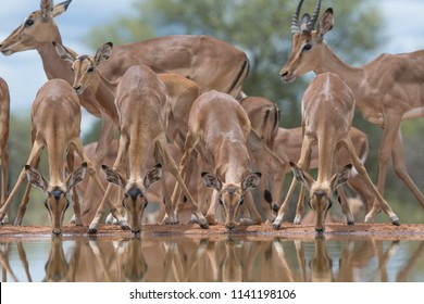 A horizontal, colour image of a herd of impala, Aepyceros melampus, some with their heads lowered to drink at a still waterhole at Indlovu River Lodge, South Africa.